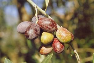 """""""le olive alla raccolta"""""""